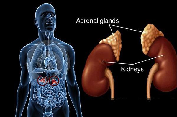 Adrenal glands in body above kindneys